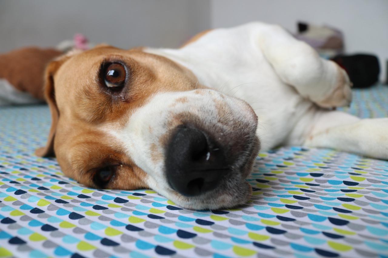 Beagle qualita