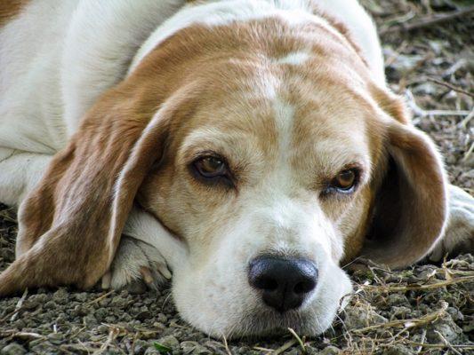 Beagle, problemi di salute ed età media