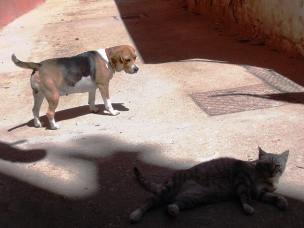 Come far convivere un Beagle e un Gatto