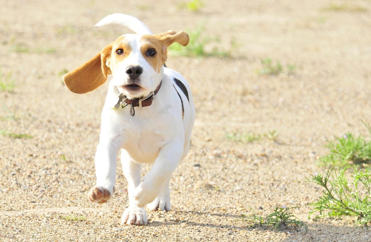 Cane Beagle bambini