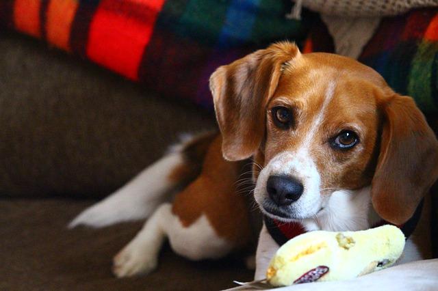 giocare con il beagle