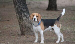 Linguaggio corpo Beagle