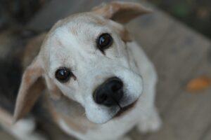 età beagle