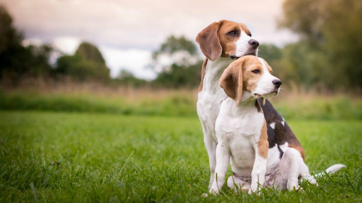 Cibo Beagle