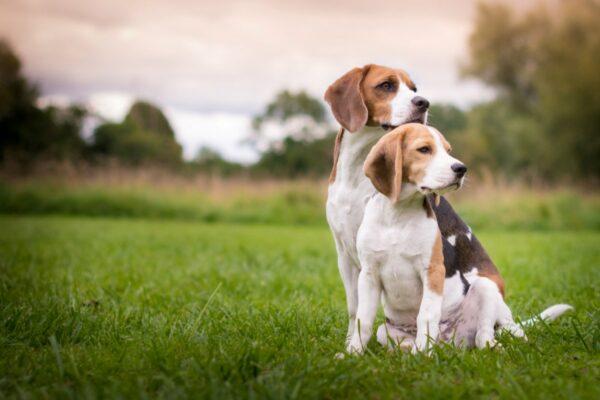 L'alimentazione corretta per un Beagle