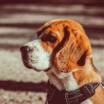 Beagle allevamento