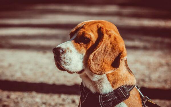 Il Beagle, caratteristiche principali e come educarlo