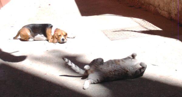 I Beagle vanno d'accordo con i gatti? 4 Passi per farli andare d'accordo