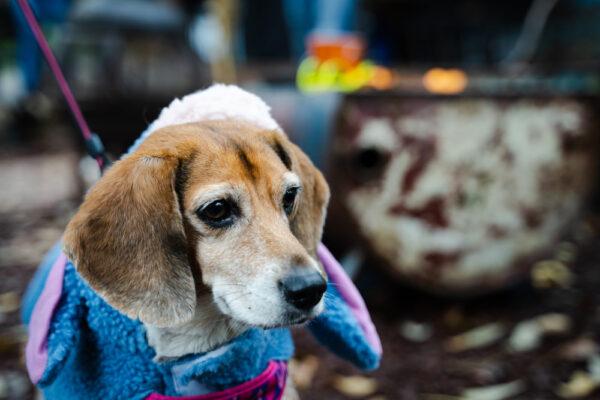 Come scegliere gli abiti per i nostri beagle