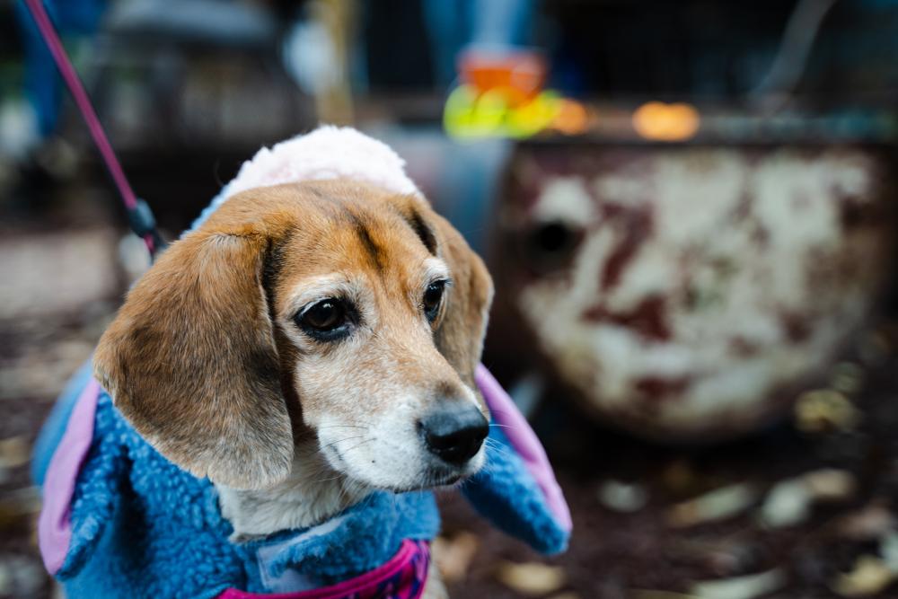 Cappotti Beagle