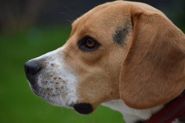 Beagle: carattere, rapporto con i bambini, allevamenti, prezzo