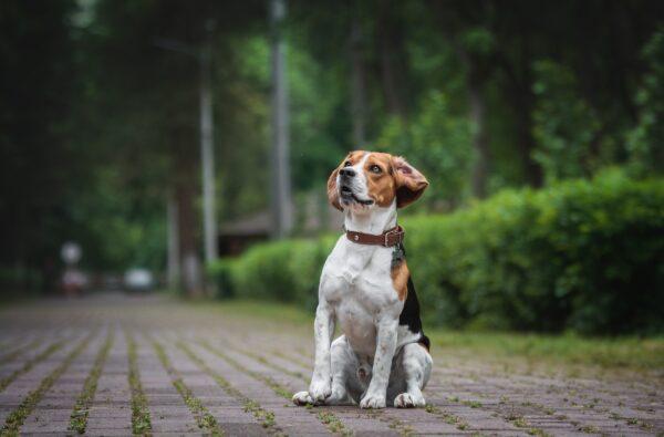 Quali razze sono compatibili con i Beagle