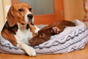 Cucce per Beagle